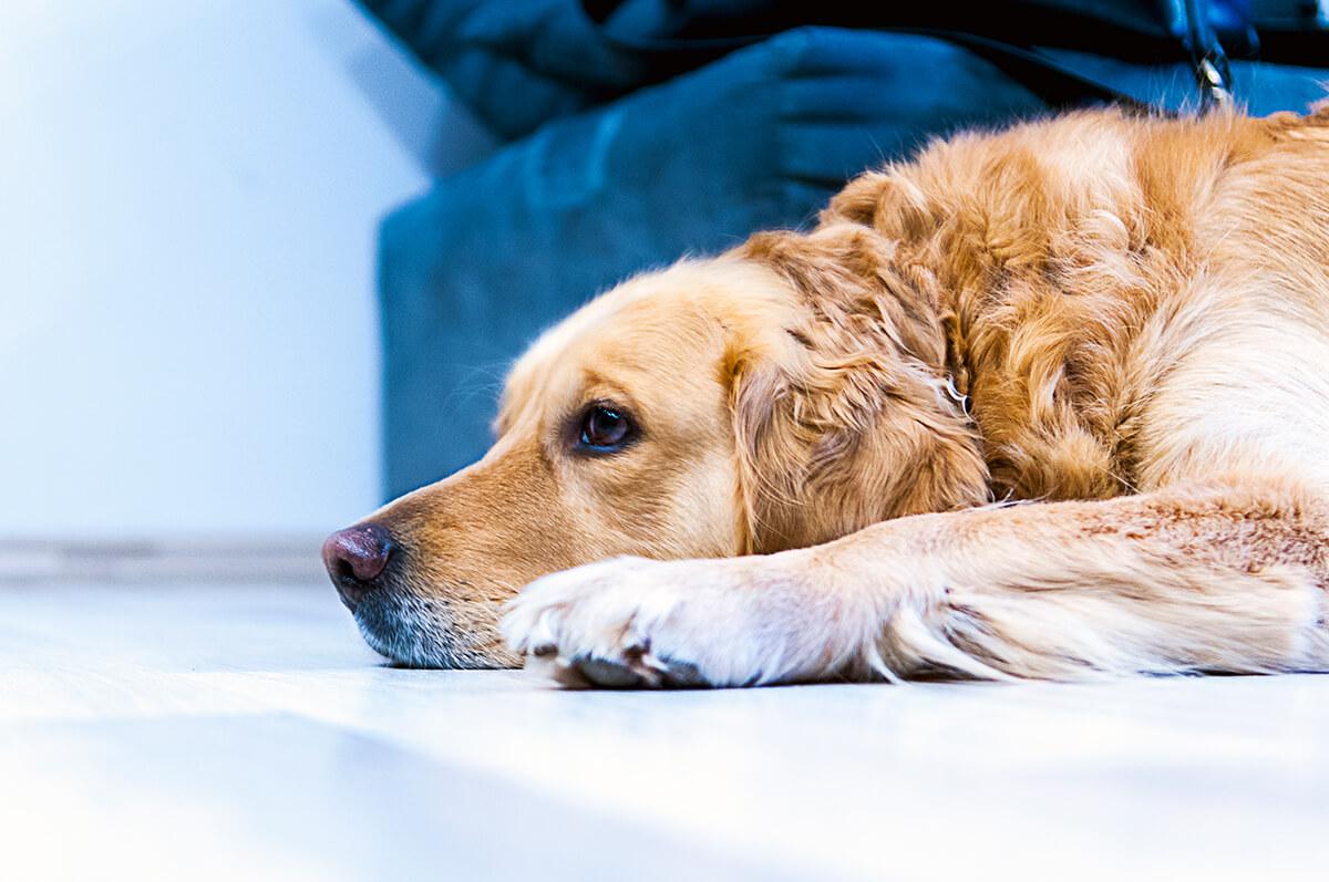 cachorro triste com fucinho no chão